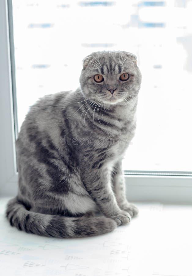 Beau chat écossais de pli regardant au côté, se trouvant sur le rebord de fenêtre photos stock