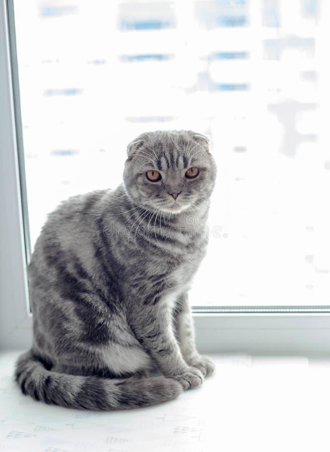 Beau chat écossais de pli regardant au côté, se trouvant sur le rebord de fenêtre image libre de droits