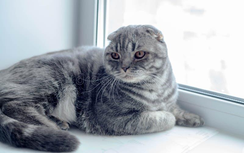 Beau chat écossais de pli regardant au côté, se trouvant sur le rebord de fenêtre photographie stock libre de droits