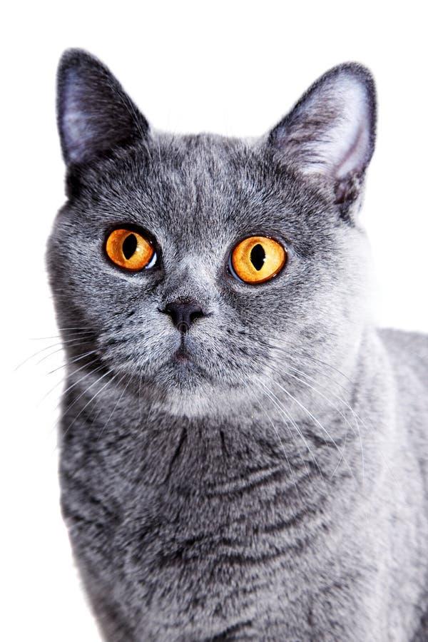 Beau chat britannique gris photographie stock libre de droits