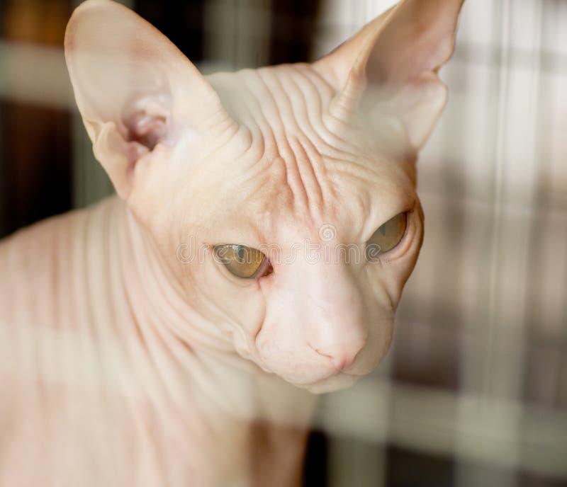 Beau chat canadien de sphynx photo libre de droits