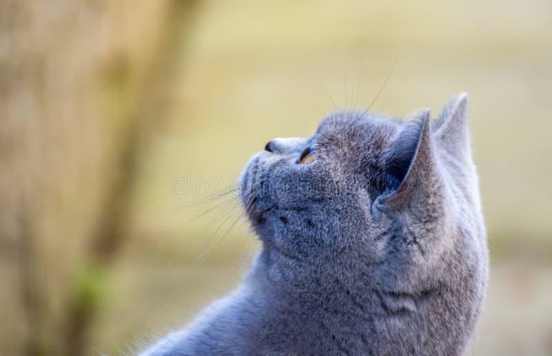 Beau chat de pure race bleu britannique magnifique de chat de cheveux courts avec des sourcils, des favoris et la vue de côté poi image libre de droits