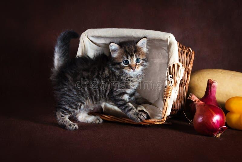 Beau chat de race de Suberian, chaton sur un fond brun Récolte des légumes et des fruits d'automne dans les paniers comme décorat image stock