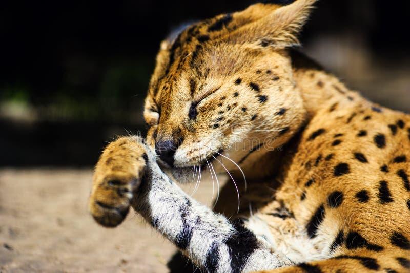 Beau chat de serval photographie stock libre de droits