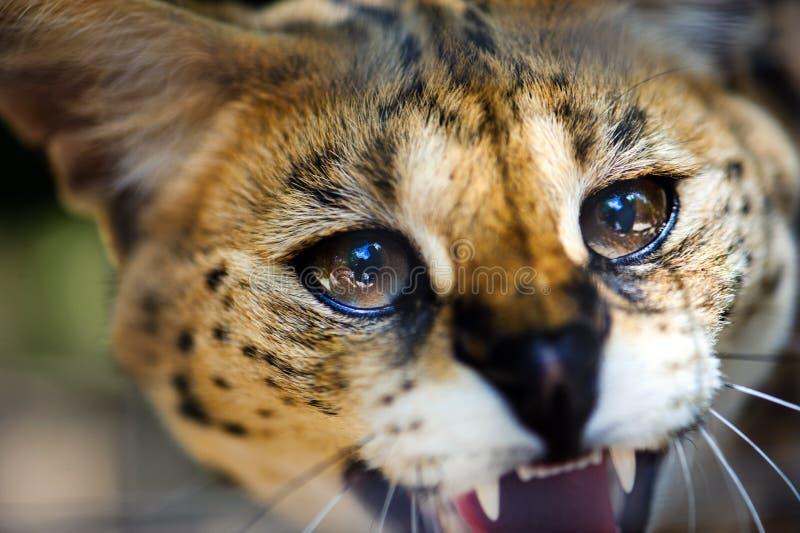 Beau chat de serval image libre de droits