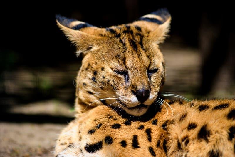 Beau chat de serval photos libres de droits
