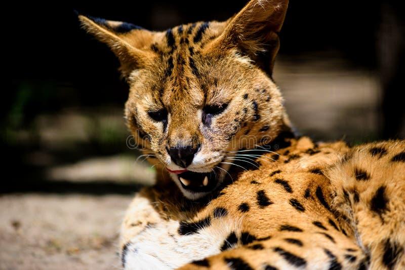 Beau chat de serval photographie stock