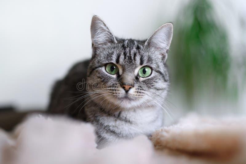 Beau chat de Shorthair d'Américain avec les yeux verts part1 photographie stock libre de droits