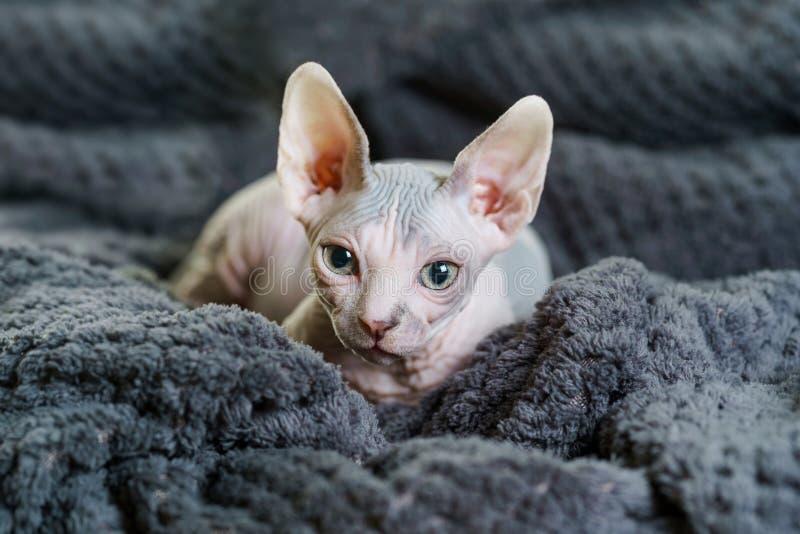 Beau chat de Sphynx sur la couverture photos stock