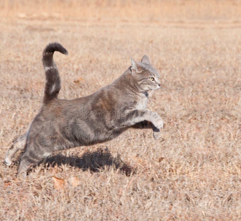 Beau chat de tabby bleu sautant tout en exécutant photographie stock libre de droits