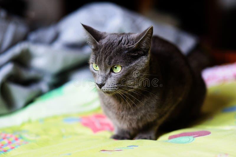 Beau chat gris à la maison Yeux verts image libre de droits