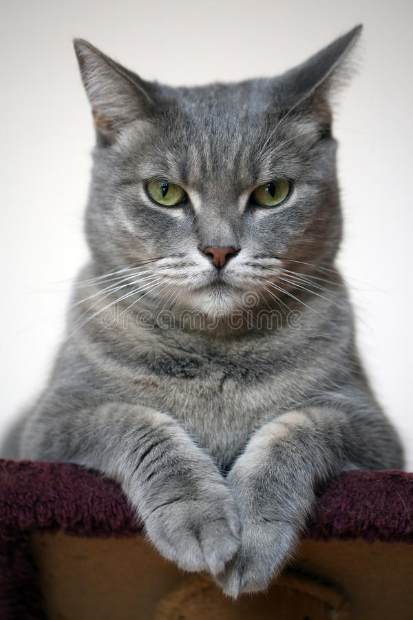 Beau chat gris images stock