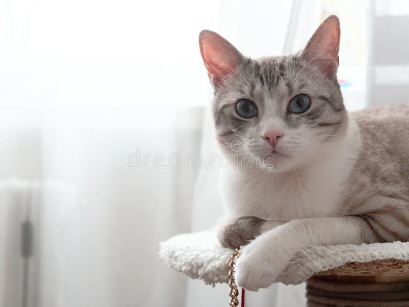 Beau chat gris-clair avec des yeux bleus image stock