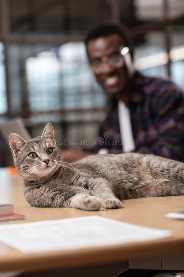Beau chat gris s'étendant sur la table de bureau photos libres de droits