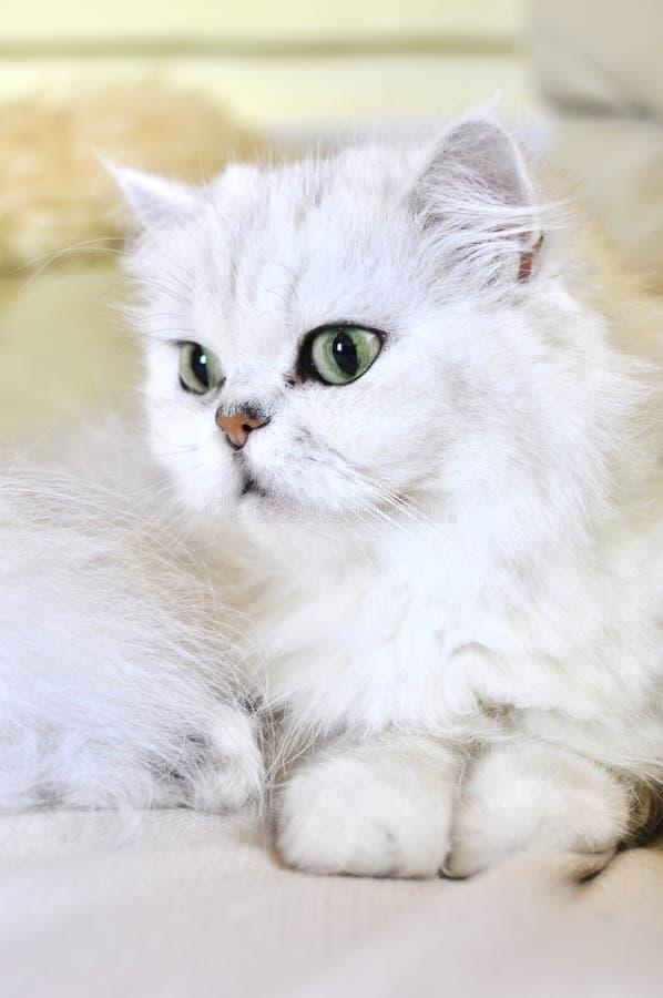 Beau chat persan blanc avec les yeux verts photographie stock