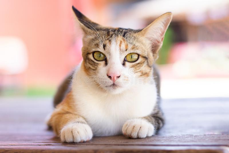 Beau chat regardant la caméra photographie stock libre de droits