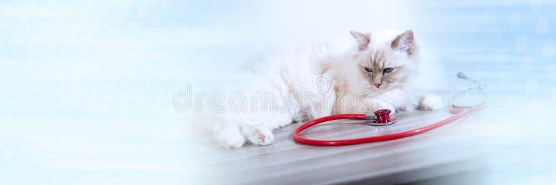 Beau chat sacré de burma au stéthoscope ; bannière panoramique images libres de droits