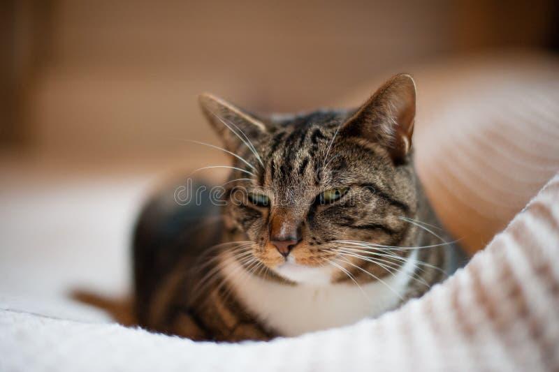 Beau chat se reposant sur une couverture blanche photo libre de droits