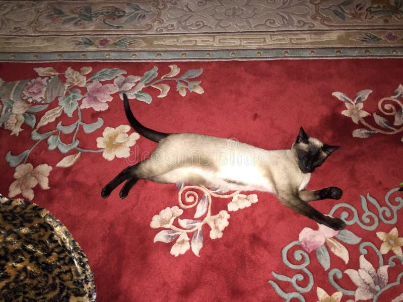 Beau chat siamois sur la couverture rouge photographie stock