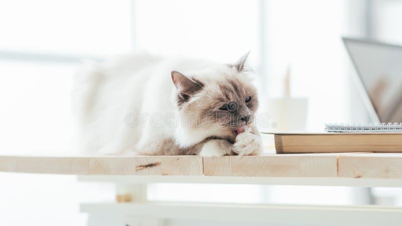 Beau chat sur le bureau image stock