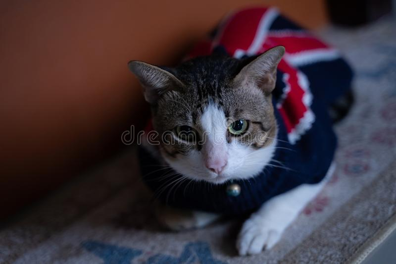 Beau chat thaïlandais de plan rapproché photo libre de droits