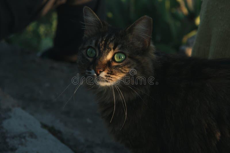 Beau chat tigr? avec les yeux verts sur le coucher du soleil illustration stock