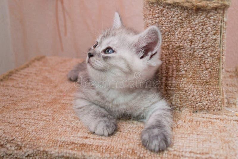 Beau chaton britannique de blanc gris se trouvant sur la maison de chat et recherchant photo libre de droits