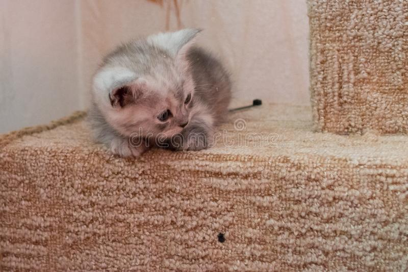 Beau chaton britannique de blanc gris se trouvant sur la maison de chat et regardant vers le bas image libre de droits