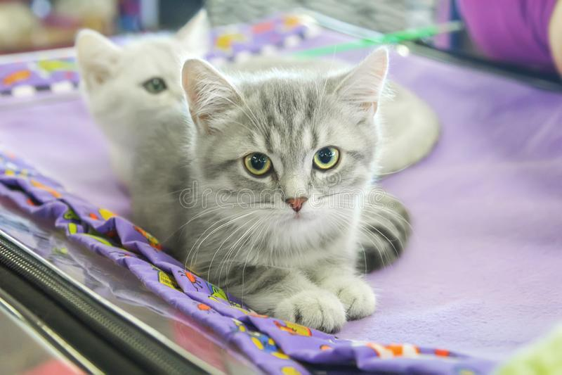 Beau chaton gris droit écossais photo stock