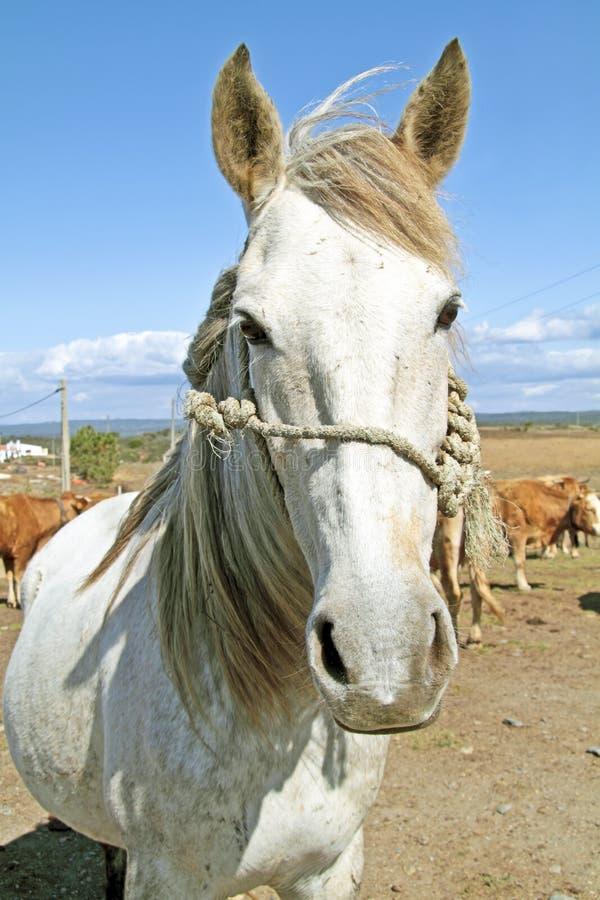 Beau cheval blanc image stock
