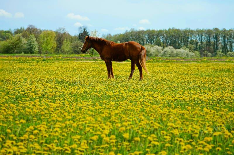 Beau cheval brun d'étalon en fleurs jaunes photo libre de droits