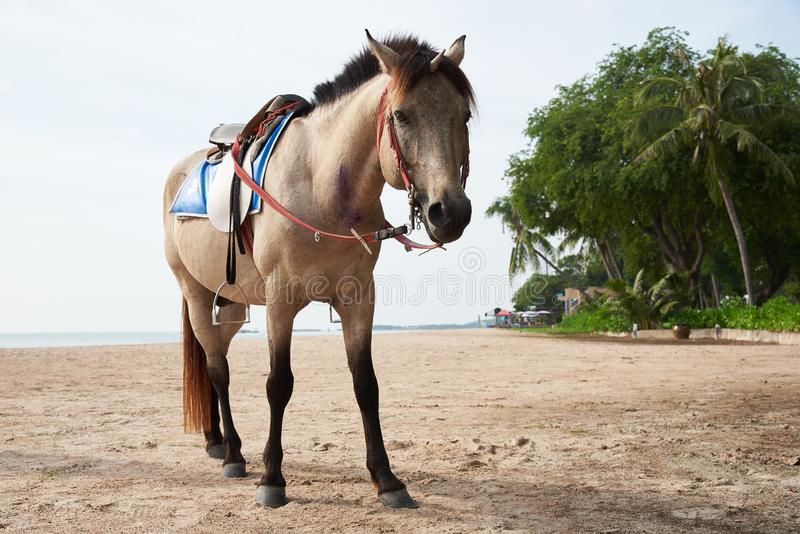 Beau cheval brun se tenant sur la plage images stock
