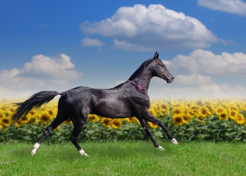 Beau cheval d'akhal-teke image stock