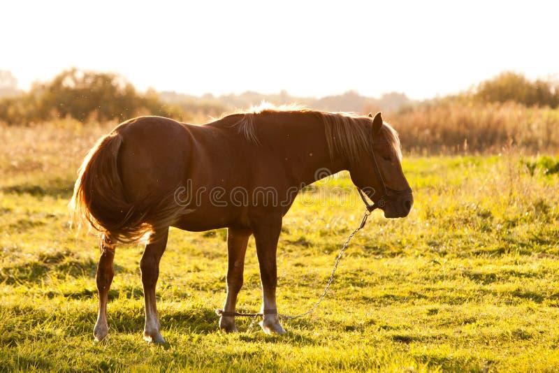 Beau cheval de Brown photographie stock