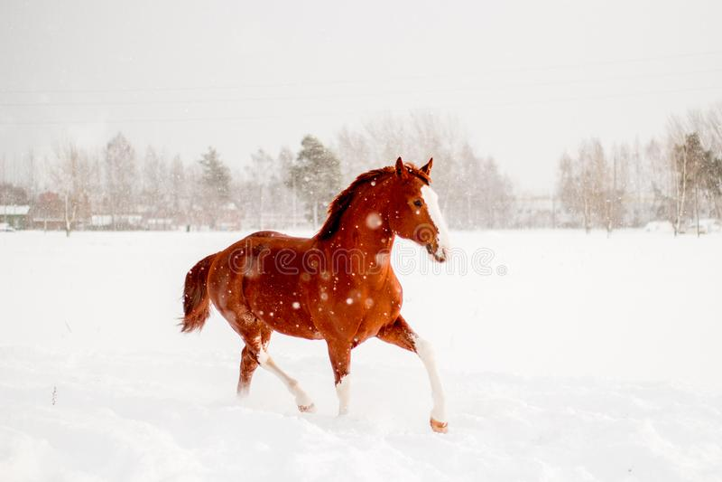 Beau cheval de châtaigne fonctionnant librement dans la neige image stock