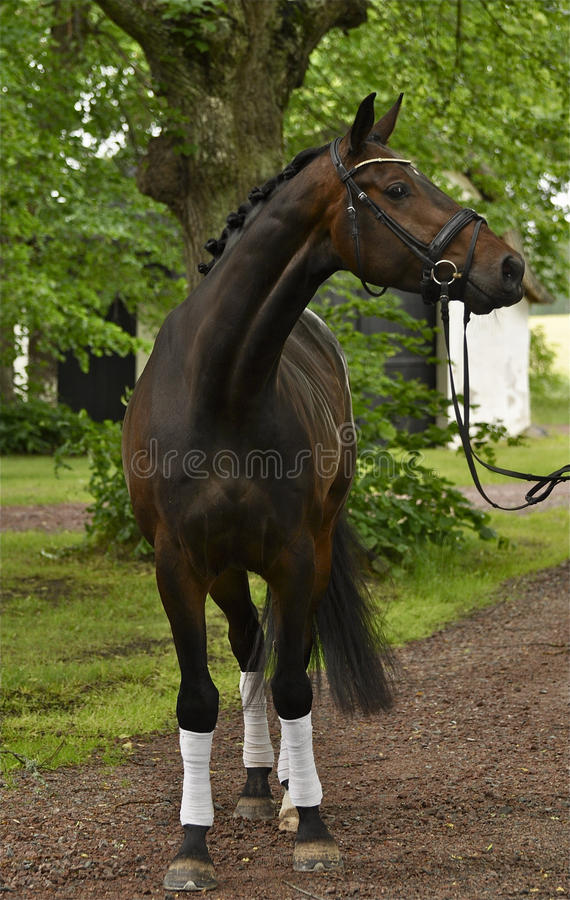 Beau cheval de concurrence image stock