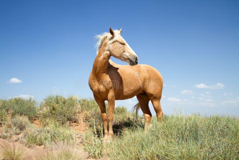 Beau cheval de mustang dans un domaine photos stock