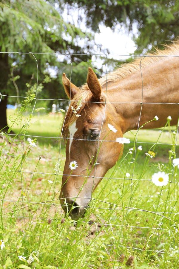 Beau cheval mangeant sur le champ de ferme, Olympia, WA photo libre de droits