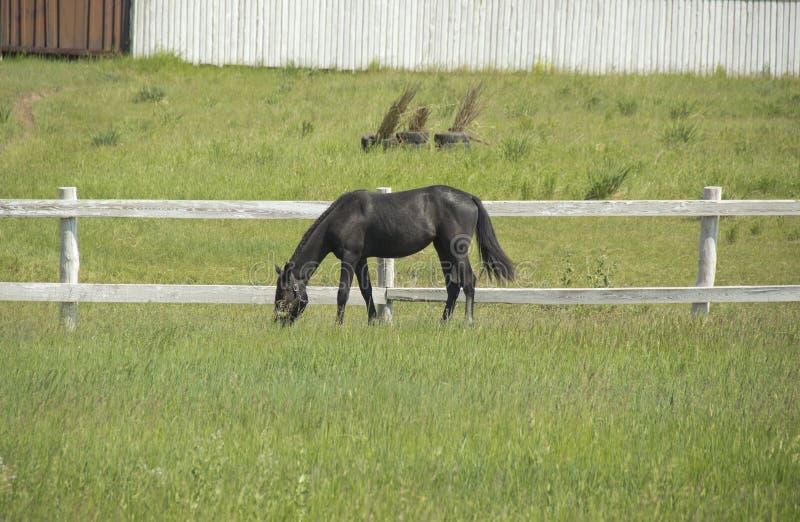 Beau cheval noir frôlant dans le pré en été images stock