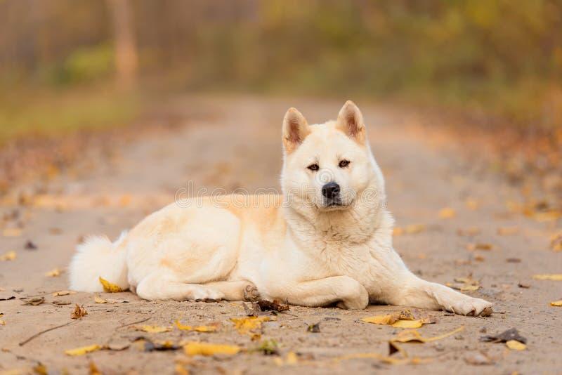 Beau chien d'Akita dans la forêt photos stock
