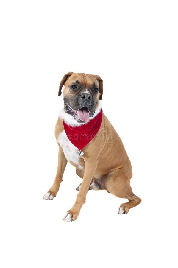 Beau chien de boxeur de Brown dans l'écharpe de Noël de vacances regardant à image stock