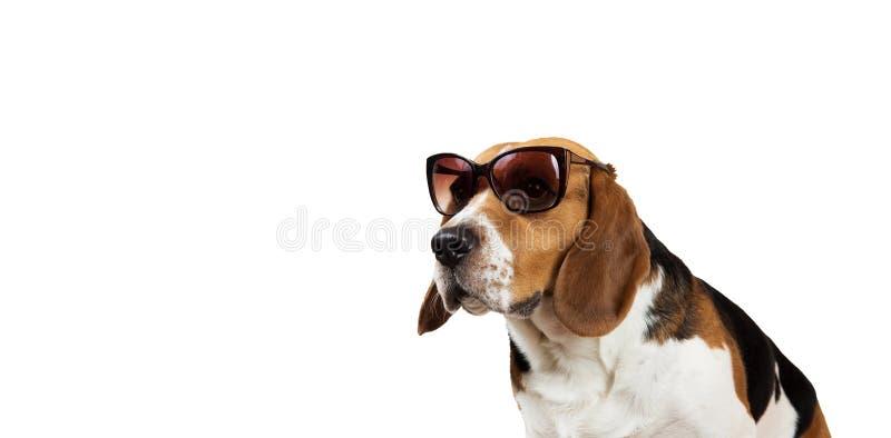 Beau chien de briquet sur le fond blanc Pose au studio photos libres de droits
