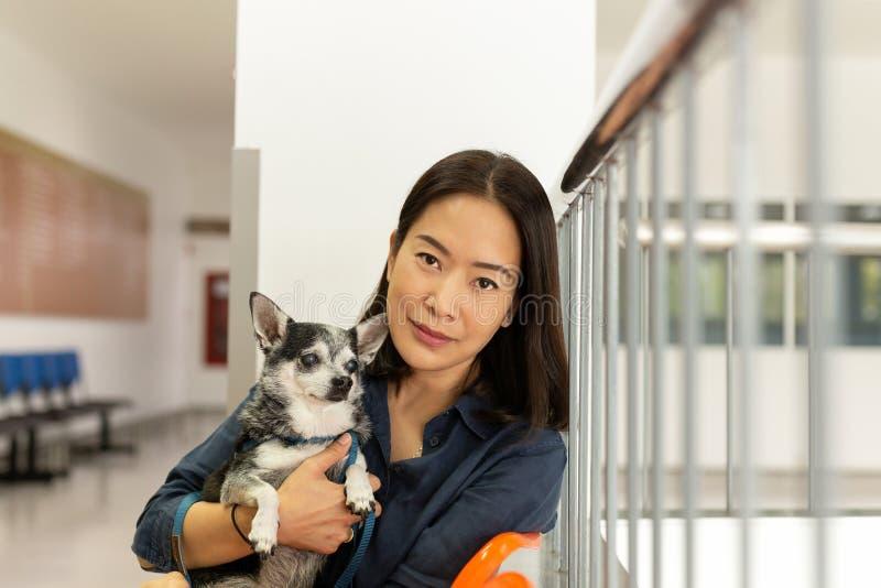 Beau chien de chiwawa de participation de femme à l'hôpital de vétérinaire images stock