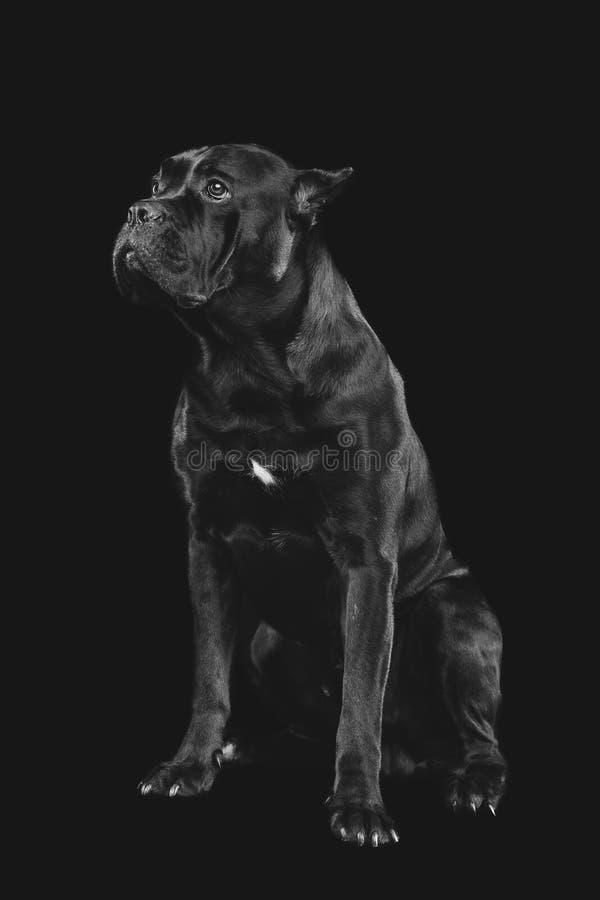 Beau chien de corso de canne photo stock