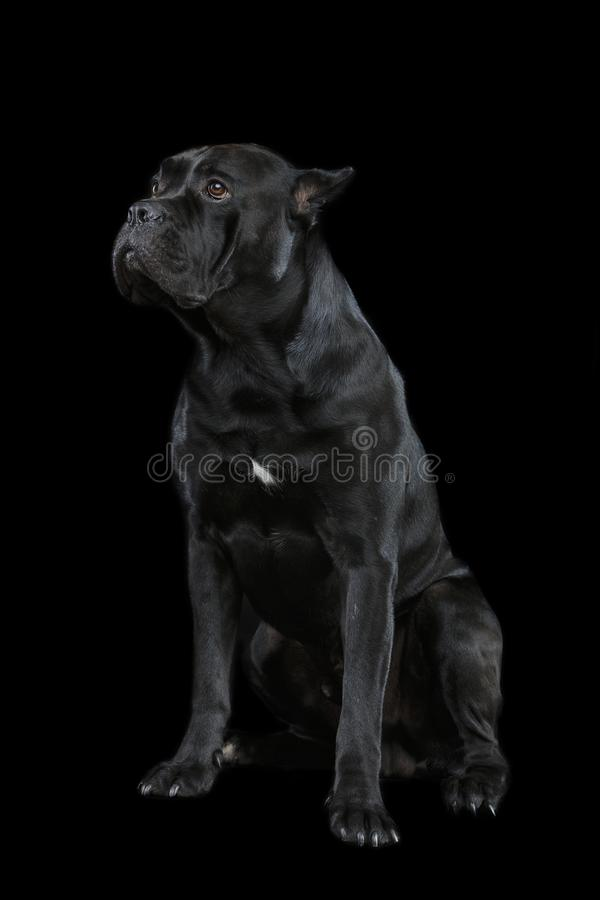 Beau chien de corso de canne photo libre de droits