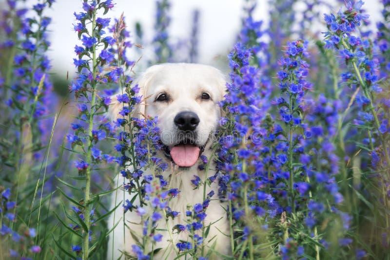 Beau chien de golden retriever en fleurs d'été photo libre de droits