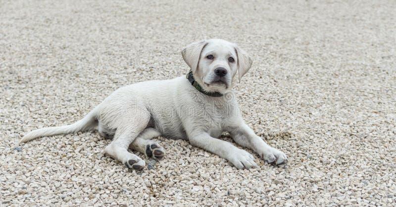 Beau chien de Labrador écoutant le commando dans l'éducation d'école image stock