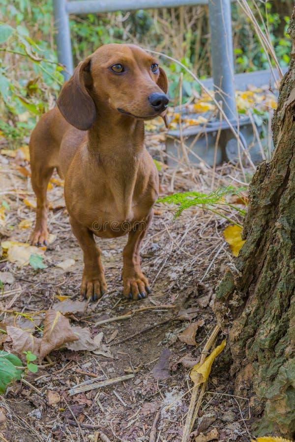 Beau chien de saucisse à côté d'un tronc d'un arbre photographie stock