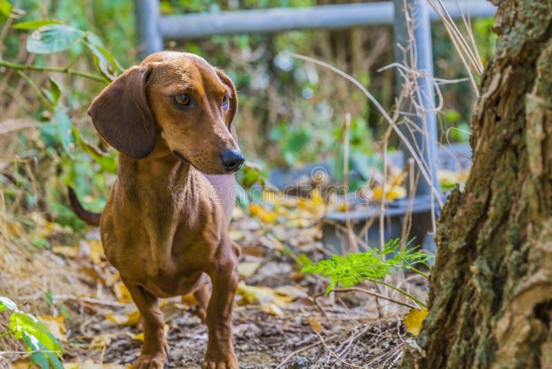 Beau chien de saucisse observant le tronc de l'arbre photos stock