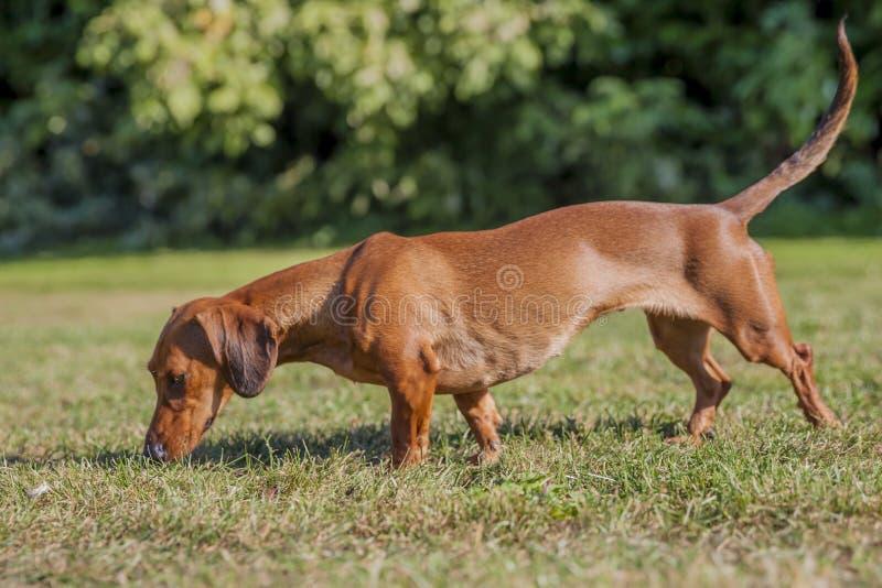 Beau chien de saucisse reniflant l'herbe image libre de droits
